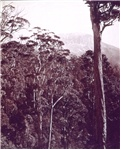 [View of the Organ Pipes with gum trees in the foreground]