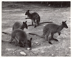 Cover image for Photograph - Wallabies