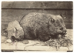 Cover image for Photograph - Wombats