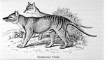 Tasmanian tiger by Louisa A. Meredith.In: Tasmanian friends and foes : feathered, furred and finned P. 65